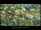 Видео Жизнь окнами в сад. Лето. Осень-2013г. Валерий Железов